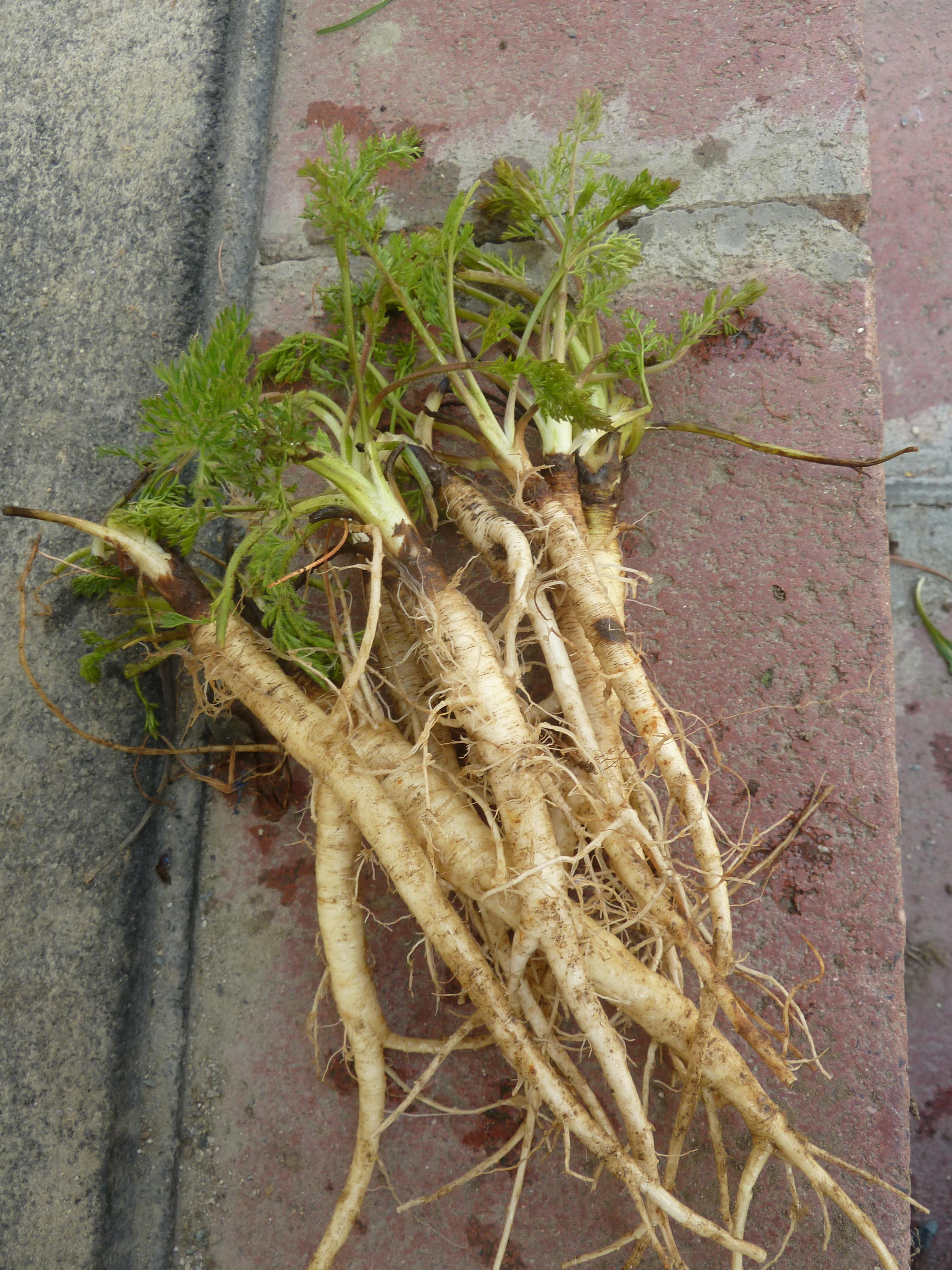 Wild Carrot Root